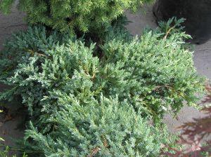 Juniperus squamata 'Blue Carpet' - Хвойна /Смрика/ 'Blue Carpet' 100-120