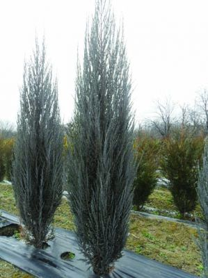 Juniperus scopulorum 'Blue Arrow' - Хвойна /Смрика/ 'Blue Arrow' 200+