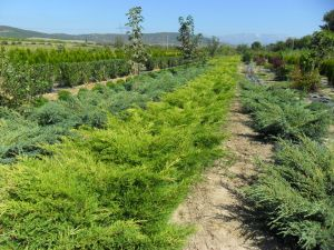 Juniperus media 'Old Gold' - Хвойна /Смрика/ 'Old Gold' 80-100