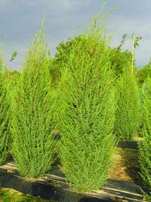 Juniperus communis 'Hibernica' - Хвойна /Смрика/ 'Hibernica' /Колоновидна/ 180-200